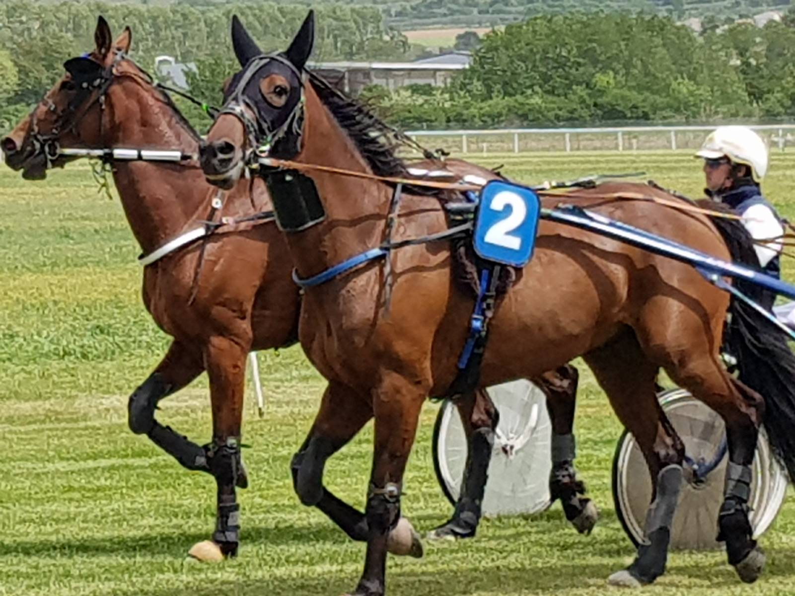 cheval-4-ans-pour-courses-en-Belgique-1