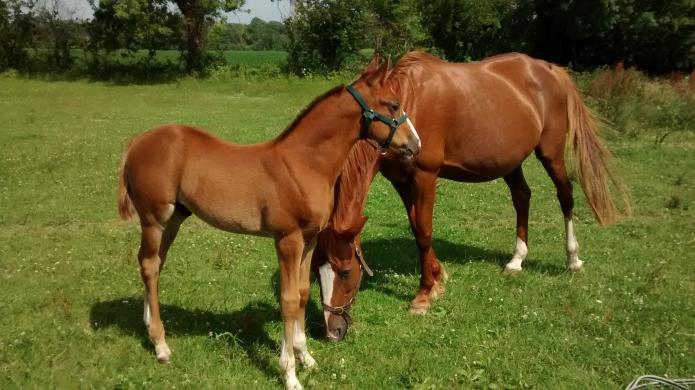 A-ne-pas-manquer--tres-beau-foal-J-par-Vaquero-du-Mont-1---11-Classique
