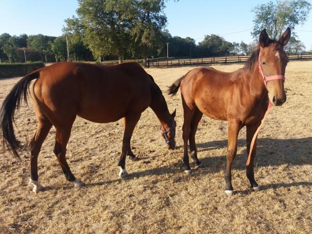 Vends-foal-femelle-(faire-offre-raisonnable)